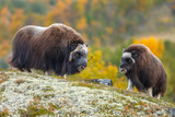 Musk-ox in a fall colored setting at Dovrefjell Norway - 232054711