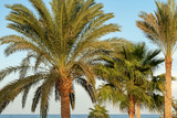 Palm Trees in the Coast of the Red Sea - Egypt Africa - 232056309