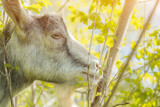 A goat eats leaves in the outdoor - 232057379