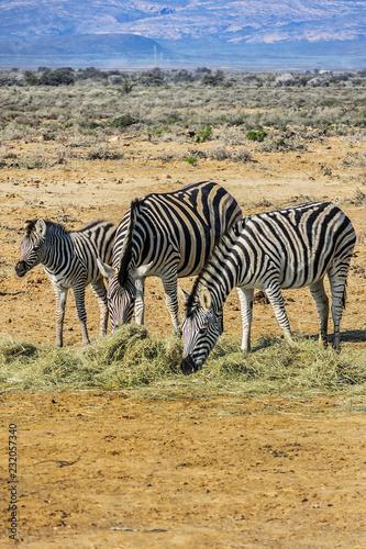A herd of Zebras (Equus zebra zebra) in a meadow. South Africa.