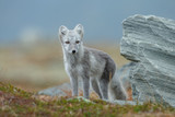 Arctic fox in a fall setting on a cold part of Norway - 232057527