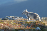 Arctic fox in a autumn setting in the arctic part of Norway - 232058916