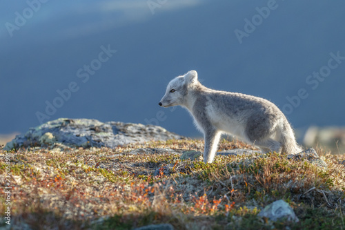 Wall mural Arctic fox in a autumn setting in the arctic part of Norway