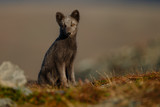 Arctic fox living in the arctic part of Norway, seen in autumn setting. - 232061333