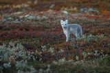 Arctic fox living in the arctic part of Norway, seen in autumn setting. - 232061584