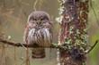 Owls - Pygmy Owl (Glaucidium passerinum)