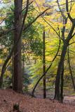 Beech Trees in Autumn - 232067370