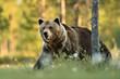Big brown bear walking at summer scenery