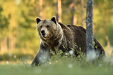 Big brown bear walking at summer scenery - 232076353