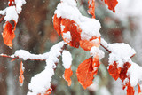 Frozen beech leaves covered with snow during snowfall. - 232087704