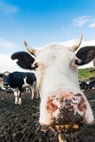Cow pokes its nose into the camera. Funny photo of domestic farm animal. - 232091763