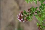 Blühender Oregano (Origanum vulgare) - 232091765
