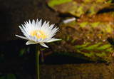 Beautiful white waterlily or lotus flower in pond at over sunlight with in the morning.