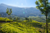 Tea plantations in Munnar mountains