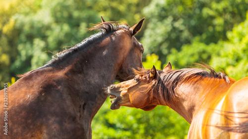 Dwa brown dzikiego konia na łąki polu