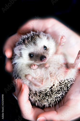 African hedgehog in children's hands. Black background - 232104918