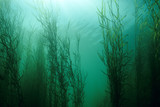 Water Star-grass underwater in the St. Lawrence river - 232109509