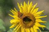 Sunflower and a butterfly