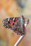 Farfalla Vanessa dei cardi (Vanessa cardui)