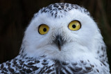 Snowy Owl. Close up portrait image of Snowy owl on the dark background. - 232123572