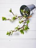Gardening branch blooming plum in metallic bucket at white - 232125143