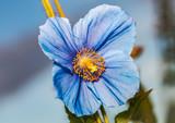 Flower Himalayan blue poppy (Meconopsis betonicifolia), sky in the background