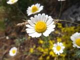 daisies in garden