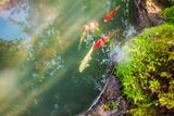 colorful fancy carps koi fish in garden pond - 232137539