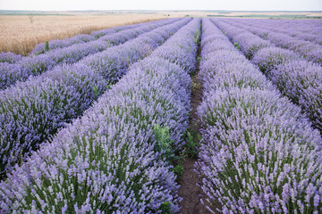 Purple fields of lavender, organic growing of scented flowers