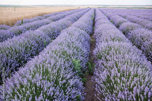 Purple fields of lavender, organic growing of scented flowers - 232141970
