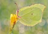 Gonepteryx rhamni amazing polish butterfly