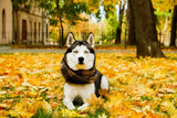 Portrait of funny blue eyed siberian husky with white face, big pointy ears at beautiful park, yellow fallen leaves. Domestic dog on a walk at november outdoors. Background, copy space, close up.