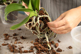 Woman transplanting orchid plant on table, closeup - 232169381