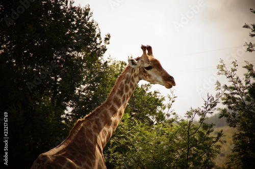 mata magnetyczna Żyrafa