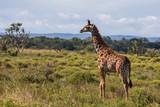 Giraffe 14 - 232178394
