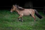 Island Pferd - 232183900