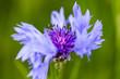 canvas print picture - belle fleur de bleut