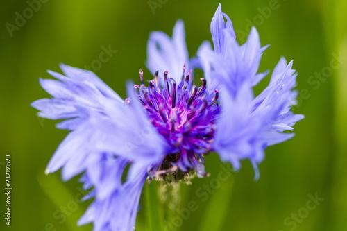 canvas print picture belle fleur de bleut