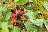 Blackberry ripe, ripening, and unripe green fruits on tree - 232196182