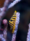 Nudibranchs in their habitat