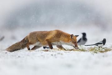 Mammals - European Red Fox (Vulpes vulpes)  © szczepank