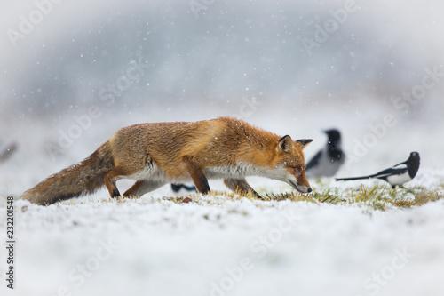 Mammals - European Red Fox (Vulpes vulpes)  - 232201548