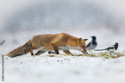 Obraz na płótnie Mammals - European Red Fox (Vulpes vulpes)