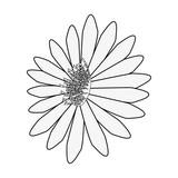 flower daisy on white background