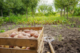 harvesting potatoes on an agricultural field - 232210710