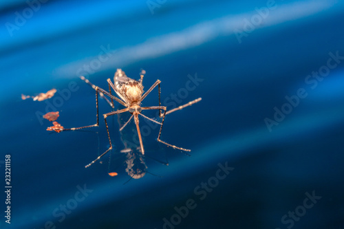 Adult mosquito over water - newborn insect diptera fly - 232211158