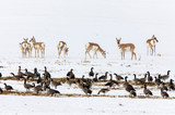 Pronghorn Antelope and Geese - 232213128