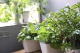 ベランダの家庭菜園の野菜 - 232214917