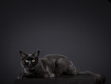 Portrait of a mainecone cat
