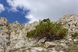 Solitary pinus mugo (mountain pine) on calcareous rocks in high mountain. Photo taken at 2400 meters of altitude. - 232219155
